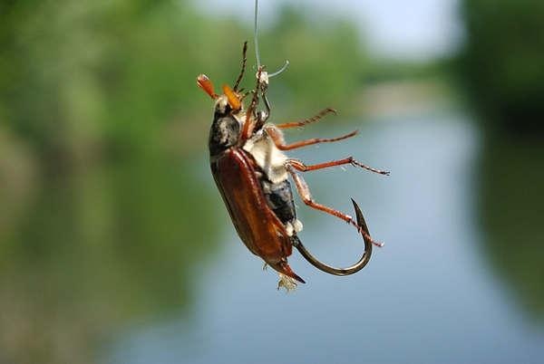 Один из способов насадки майского жука