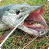 Ловля на живца осенью: как поймать щуку, окуня и судака на живца