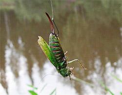 как ловить на майского жука